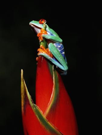 Red-Eyed Tree Frog by Robert Marien