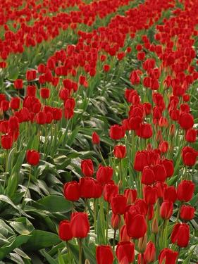 Red Tulips by Robert Marien