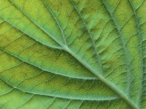 Veins of a Flowering Dogwood Leaf by Robert Marien