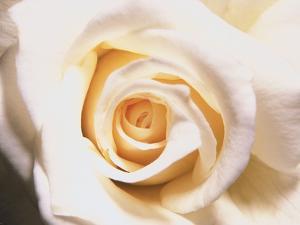 White Rose by Robert Marien