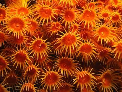 Yellow Anemones by Robert Marien