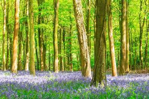 Spring Bluebell by Robert Maynard