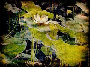 Lily Ponds II by Robert Mcclintock
