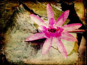 Lily Ponds IV by Robert Mcclintock
