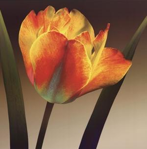 Flame Tulip II by Robert Mertens