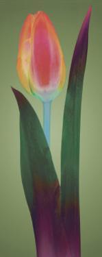 Tulip Chromatics II by Robert Mertens