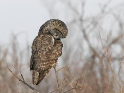 Great Gray Owl (Strix Nebulosa) Hunting.\R\N (Strix Nebulosa