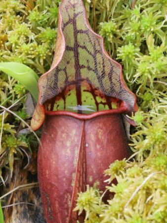 Pitcher Plant (Sarracenia) Carnivorous Plant Growing in a Sphagnum Moss Bog