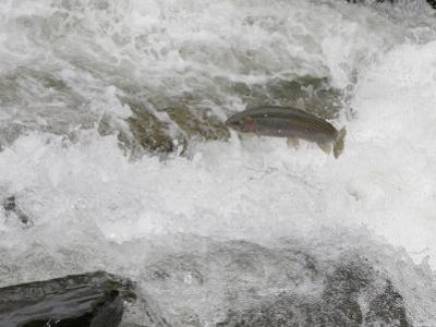 Rainbow Trout (Oncorhynchus Mykiss) Jumping Out of the Water