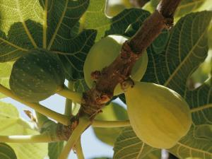 Close-up of Two Large Figs Hanging on a Branch by Robert Sisson