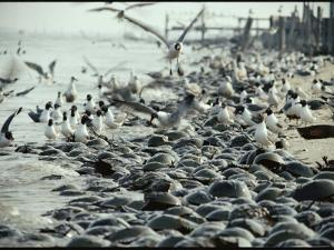 Laughing Gulls Feed on Eggs Left by Mating Horseshoe Crabs by Robert Sisson