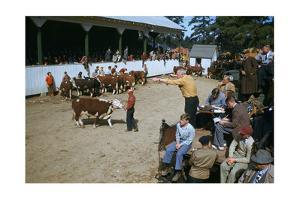 Spectators Watch as Auctioneer Points and Calls at Cattle Auction by Robert Sisson
