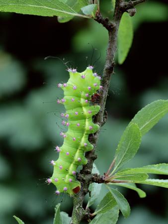 Caterpillar Larva Of Giant Peacock Moth (Saturnia Pyri) Europe
