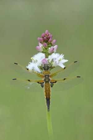 Four Spotted Chaser (Libellula Quardrimaculata) Montiaghs Moss Nnr