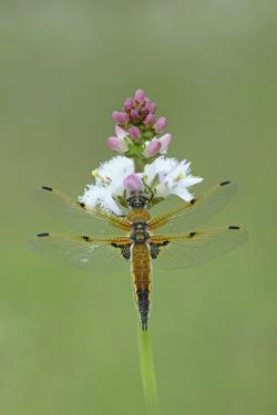Four Spotted Chaser (Libellula Quardrimaculata) Montiaghs Moss Nnr by Robert Thompson
