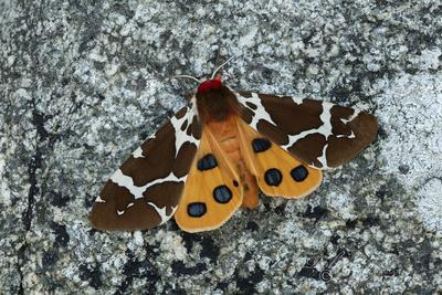 Great tiger moth, Lac-Drolet, province, Quebec, Canada