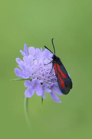 Moth (Zygaena Osterodensis) Feeding On Flower, Viscos, Pyrenees National Park, France, July