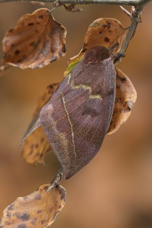 Saturniid moth (Automeris excreta) female, Guatemala
