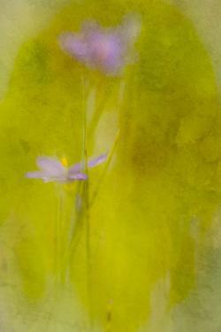 Blue-Eyed Grass by Roberta Murray