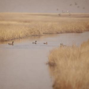 Canal Ducks by Roberta Murray