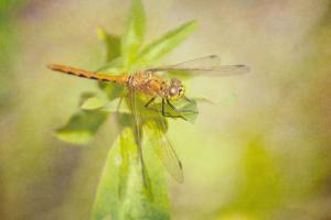 Dragonfly on Leaves by Roberta Murray