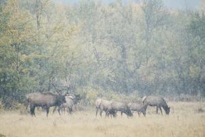Morning Elk by Roberta Murray