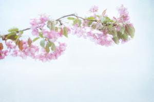 Sakura Pastel by Roberta Murray