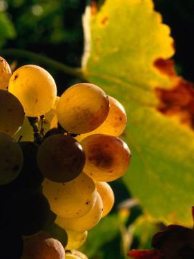Chenin Blanc Grape Cluster, Napa Valley, California, USA by Roberto Gerometta