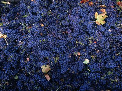 Zinfandel Grape Harvest, Sonoma, California, USA