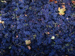 Zinfandel Grape Harvest, Sonoma, California, USA by Roberto Gerometta