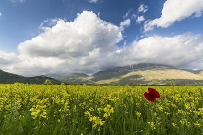 Blooming of yellow flowers and red poppies, Castelluccio di Norcia, Umbria, Italy by Roberto Moiola