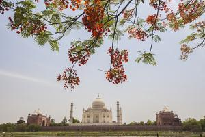 Branches of a Flowering Tree with Red Flowers Frame the Taj Mahal Symbol of Islam in India by Roberto Moiola