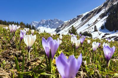 Close-up of crocus flowers in bloom, Partnun, Prattigau, Davos, canton of Graubunden, Switzerland by Roberto Moiola