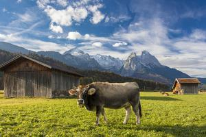 Cow in the green pastures framed by the high peaks of the Alps, Garmisch Partenkirchen, Upper Bavar by Roberto Moiola