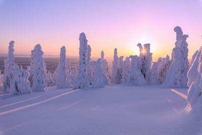Pink sunrise on frozen trees, Riisitunturi National Park, Posio, Lapland, Finland by Roberto Moiola