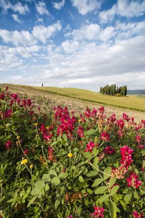 Red flowers frame the gentle green hills of Val d'Orcia, UNESCO World Heritage Site, Province of Si by Roberto Moiola