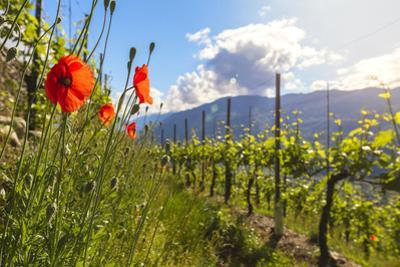 Red poppies and vineyards, Bianzone, Sondrio province, Valtellina by Roberto Moiola