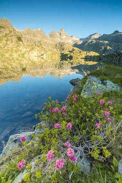 Rhododendrons frame the blue water of Lago Nero at dawn, Cornisello Pinzolo, Brenta Dolomites, Tren by Roberto Moiola