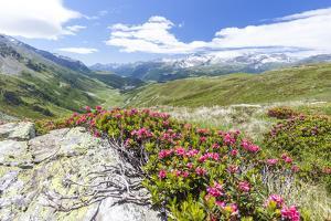 Rhododendrons frame the green alpine landscape, Montespluga, Chiavenna Valley, Valtellina, Italy by Roberto Moiola