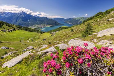 Rhododendrons on Monte Berlinghera with Alpe di Mezzo and Alpe Pesceda, Sondrio province by Roberto Moiola