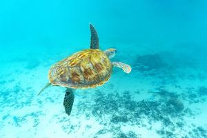 Sea turtle floating underwater over coral reef, Mauritius, Indian Ocean by Roberto Moiola