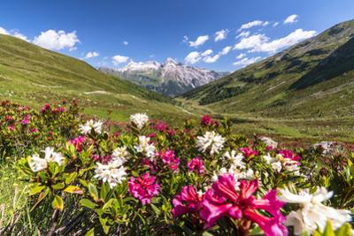 White and fuchsia coloured rhododendrons, Spluga Pass, canton of Graubunden, Switzerland by Roberto Moiola
