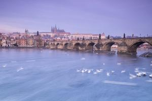 White swans on the Vltava River and the historical Charles Bridge at sunrise, UNESCO World Heritage by Roberto Moiola