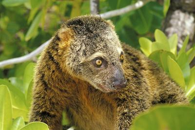 Sulawesi Bear Cuscus (Ailurops Ursinus) Sulawesi, Indonesia. Vulnerable Species