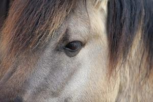 Horse, Konik, adult, close-up of eye by Robin Chittenden
