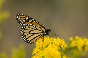 Monarch Butterfly (Danaus plexippus) adult, feeding at flowers, Cape May, New Jersey by Robin Chittenden
