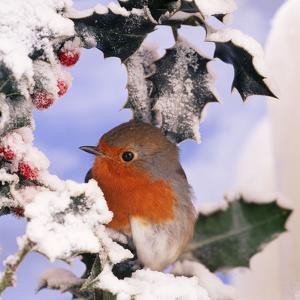 Robin in Frozen Holly