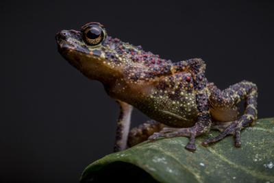 A Bornean Rainbow Toad, Ansonia Latidisca, Rests on a Leaf by Robin Moore