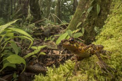 A Bornean Rainbow Toad, Ansonia Latidisca, Rests on Moss in the Rain Forest by Robin Moore