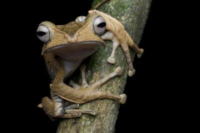 A Borneo Eared Frog, Polypedates Otilophus, Rests on a Tree Branch by Robin Moore